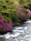 龍頭の滝トウゴクミツバツツジ/撮影:玄梅様