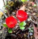 寒木瓜(カンボケ)咲く