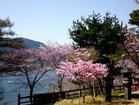 アカヤシオと桜咲く境内(二荒山神社中宮祠)