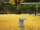 銀杏黄葉落葉