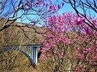 六方沢橋とアカヤシオ