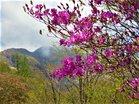 トウゴクミツバツツジと赤薙山