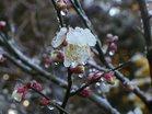 春雪に花萎む