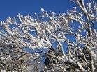 春雪のアカヤシオ花芽