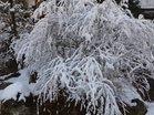 雪被るユキヤナギ
