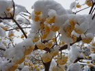 雪で折れ曲がるミツマタ