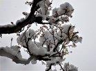 雪かぶる梅の花 (2)