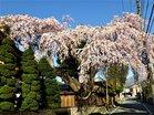 高田家の桜