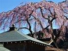 虚空蔵尊の桜